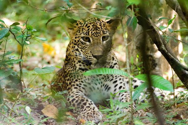 Leopard-2